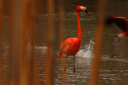 Royalty Free Photo of a Flamingo in the Water