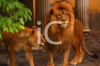 Royalty Free Photo of Lions