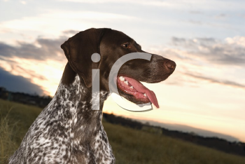 Royalty Free Photo of a German Shorthaired Pointer Sitting in a Field