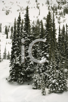 Royalty Free Photo of Snow-Covered Pine Trees