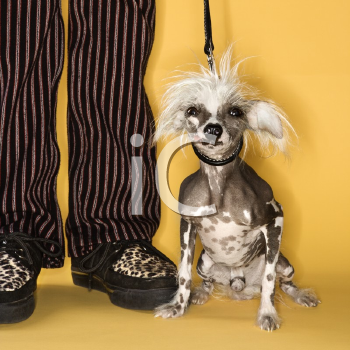 Royalty Free Photo of a Chinese Crested Dog on a Leash Standing Next to a Man's Legs