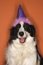 Royalty Free Photo of a Border Collie Wearing a Party Hat