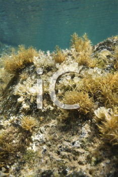 Royalty Free Photo of an Underwater View of Marine Vegetation Growing on a Rock in Maui, Hawaii, USA