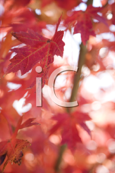 Royalty Free Photo of Red Autumn Maple Leaves