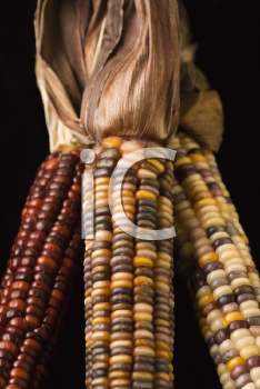 Royalty Free Photo of a Close-up of Three Multicolored Ears of Indian Corn