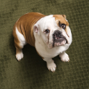 Royalty Free Photo of an English Bulldog Puppy Sitting on a Carpet Looking Up