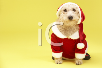 Royalty Free Photo of a Dog in a Santa Suit
