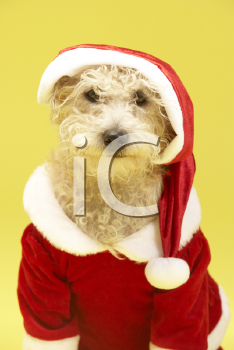 Royalty Free Photo of a Small Dog in a Santa Suit
