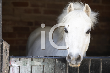 Royalty Free Photo of a Pony at a Stable Door