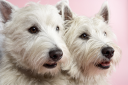 Royalty Free Photo of Two West Highland Terriers