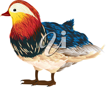 Little mandarin duck drawing over white background