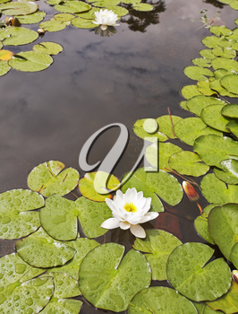 Royalty Free Photo of Lily Pads