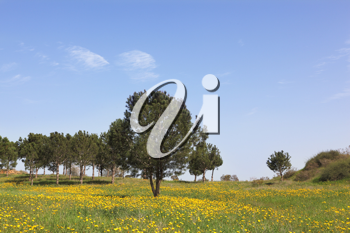 Wonderful serene spring day. Scenic hills, green grass, blooming buttercups and olive trees