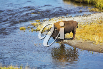 Bison on a watering place in well-known Yellowstone national park