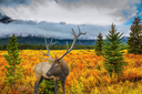 Fairy-tale deer antlered on the edge of pine forest. The lush colorful golden autumn in the Rocky Mountains of Canada
