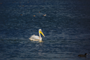 The large pelican floats in darkly blue water of the lake. Hula Nature Reserve, Israel, December