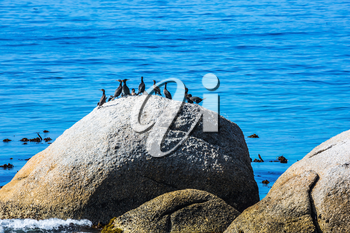 African black-and-white penguins and huge boulders on the Atlantic Ocean. The concept of  ecotourism. Boulders Penguin Colony in the Table Mountain National Park