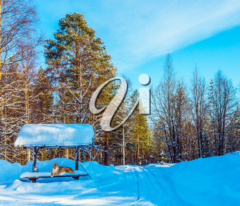 The northern lynx sits at a bus stop in the forest. Cold winter day in the Arctic. New Year. Concept of active and ecological tourism