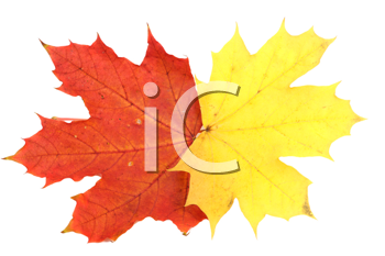 Red and yellow maple autumn leaves on a white background