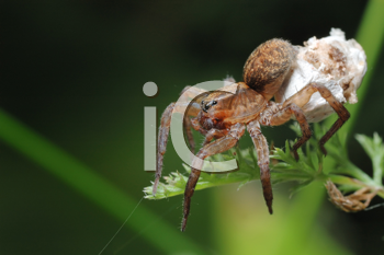Royalty Free Photo of a Large Spider With a Cocoon