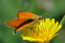 Royalty Free Photo of an Orange Butterfly on a Bright Yellow Flower