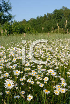 Royalty Free Photo of a Field of Daisies