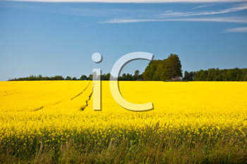 Royalty Free Photo of a Rape Field