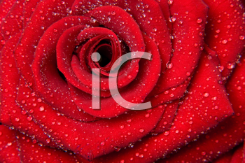 Royalty Free Photo of a Red Rose