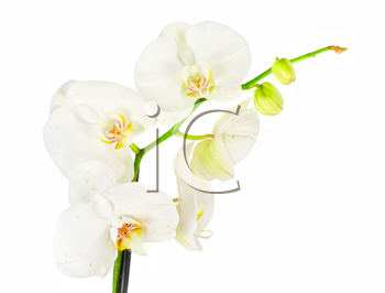 White orchid closep on a white background