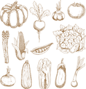 Ripe farm tomato and corn, onion and garlic, eggplant and beet, pumpkin and chinese cabbage, zucchini and pea pod, cauliflower and asparagus vegetables. Sketches in vintage engraving style