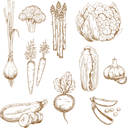 Vintage sketches of farm carrot, garlic cloves and onion, sweet pea and broccoli, zucchini and cauliflower, asparagus and chinese cabbage vegetables. Restaurant menu, recipe book, vegetarian food