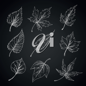 Trees and bushes leaves chalk sketches on blackboard with detailed arrangement of veins and shapes of margins. Stylized engraving foliage for nature, ecology, seasonal theme