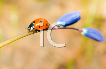 Walking by. Closeup of ladybird on snowdrop in spring