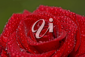 Closeup of beautiful red rose with droplets of water