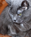 Royalty Free Photo of a Grey Cat With Green Eyes