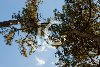Royalty Free Photo of Trees From Below