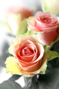 bouquet of beautiful pink roses close up
