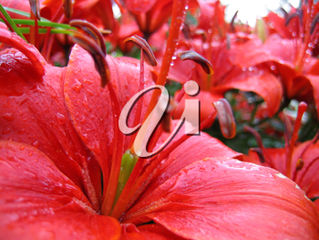 closeup of red beautiful lily with raindrops