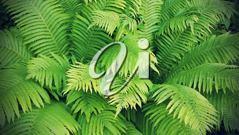 Natural background with green fresh fern branches, vintage effect