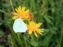 yellow butterfly on yellow flower