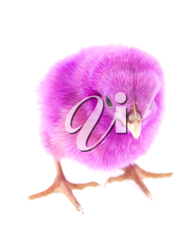 live little pink chicken animal isolated on white background