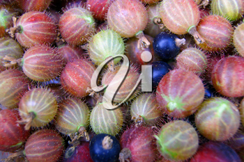 Much ripe berries of the gooseberry background