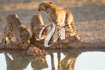 Cheetah cubs in the wilderness of Africa