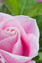 Beautiful pink rose flower on the green natural background with drops.Shallow focus