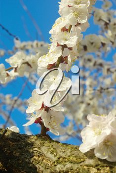 April garden natural tree branch. Spring white blossom. Outdoor bloom closeup. Seasonal blossoming tree springtime.