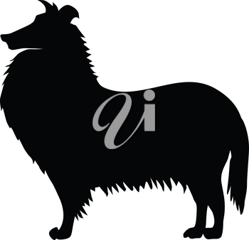 silhouette of collie