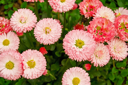 Flowering pink daisies on a background of green foliage