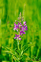 Pink fireweed flower on a background of green grass