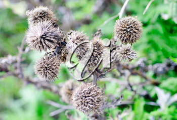 A dried up Thistle on the  green background