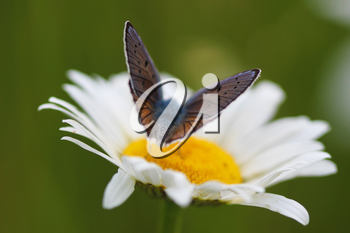 Yellow  flower Chamomile and butterfly on a green background